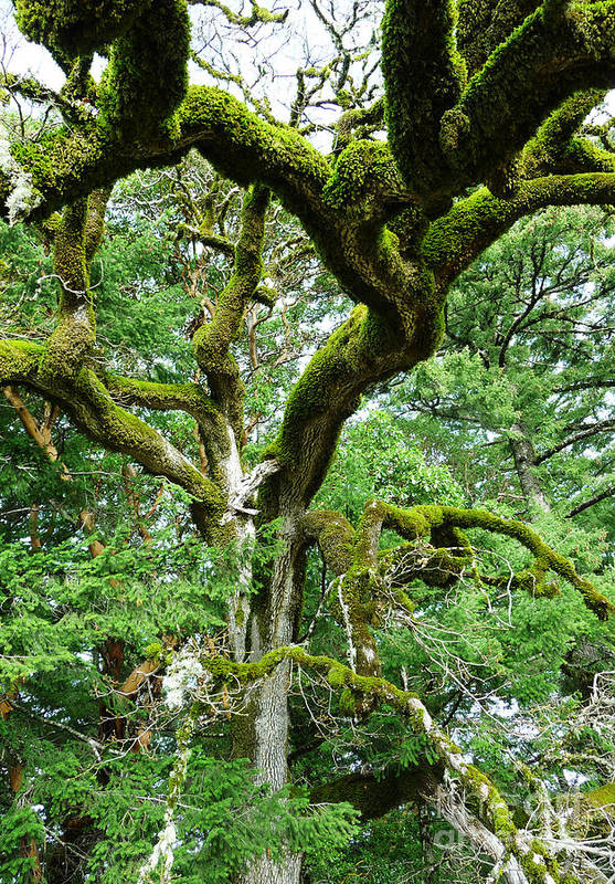 Tree Art Print featuring the photograph Moss Covered Arms by JoAnn SkyWatcher