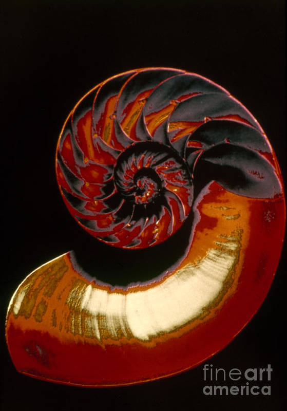 Biology Art Print featuring the photograph Nautilus by Granger