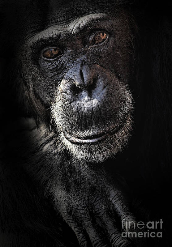 Chimp Art Print featuring the photograph Portrait Of A Chimpanzee by Sheila Smart Fine Art Photography