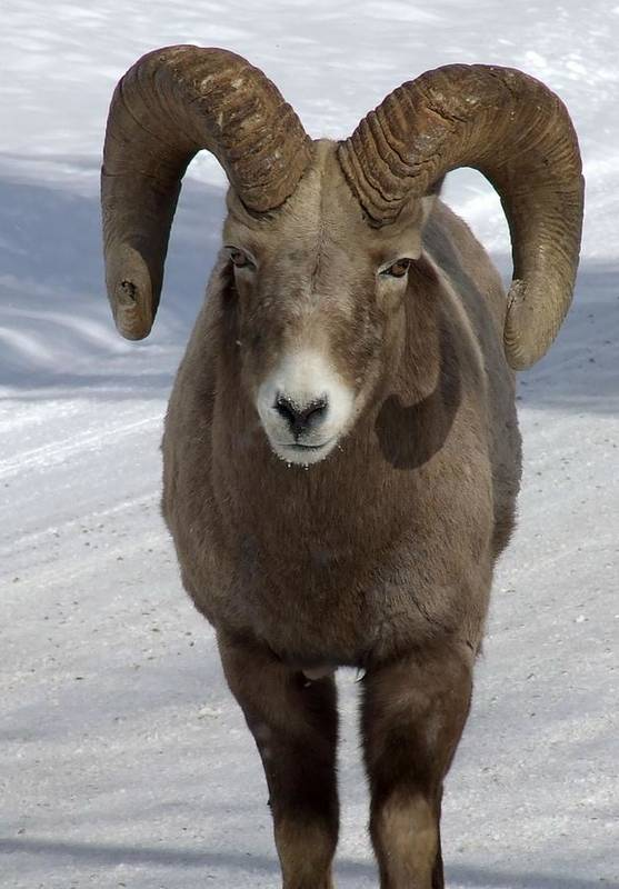 Bighorn Ram Art Print featuring the photograph Rocky Mountain Ram In Winter by Tiffany Vest