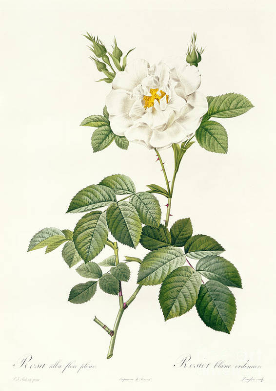 Rosa Art Print featuring the drawing Rosa Alba Flore Pleno by Pierre Joseph Redoute