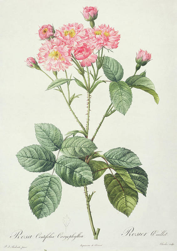 Rosa Print featuring the drawing Rosa Centifolia Caryophyllea by Pierre Joseph Redoute
