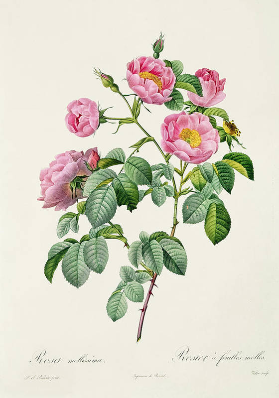 Rosa Print featuring the drawing Rosa Mollissima by Claude Antoine Thory
