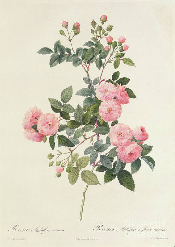 Rosa Art Print featuring the drawing Rosa Multiflora Carnea by Pierre Joseph Redoute
