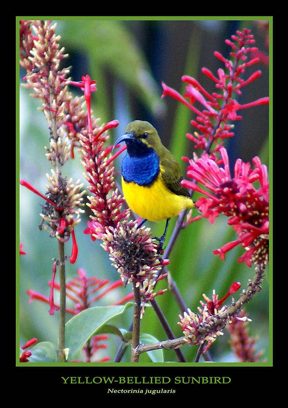 Animals Art Print featuring the photograph Sunbird by Holly Kempe