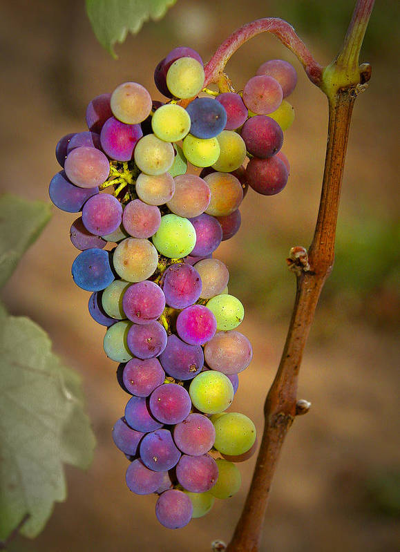 Grapes Art Print featuring the photograph Jewel Tones by Jean Noren