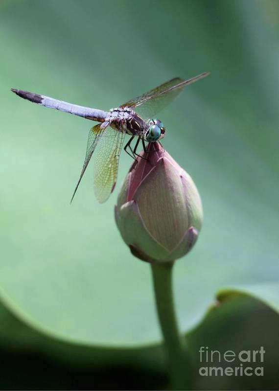 Dragonfly Art Print featuring the photograph Blue Dragonflies Love Lotus Buds by Sabrina L Ryan