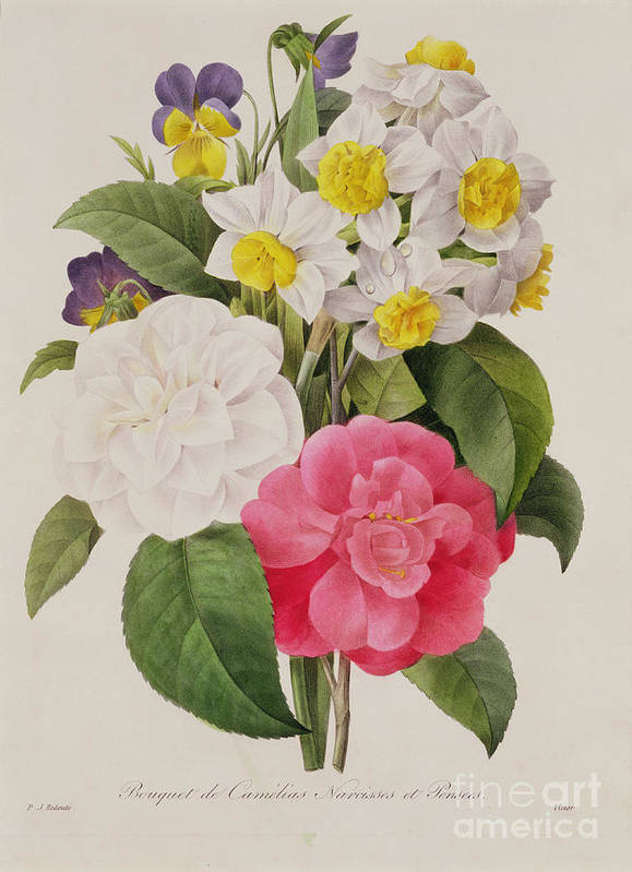 Camellia Print featuring the painting Camellias Narcissus And Pansies by Pierre Joseph Redoute