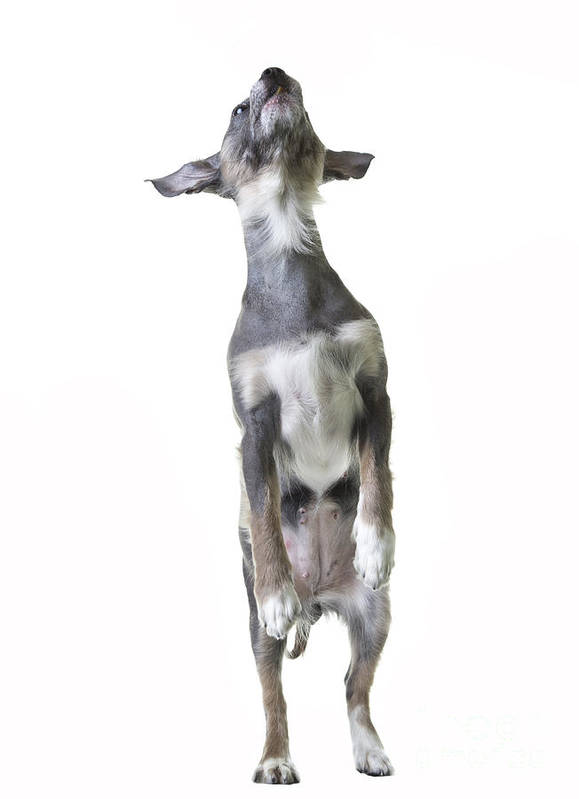Dog Art Print featuring the photograph Dancing Dog by Edward Fielding