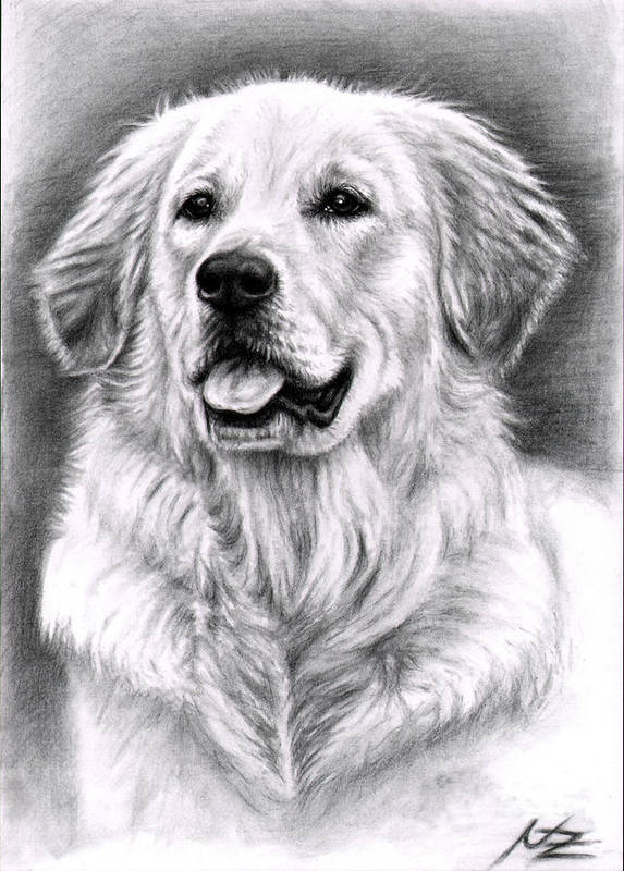 Dog Art Print featuring the drawing Golden Retriever Spence by Nicole Zeug