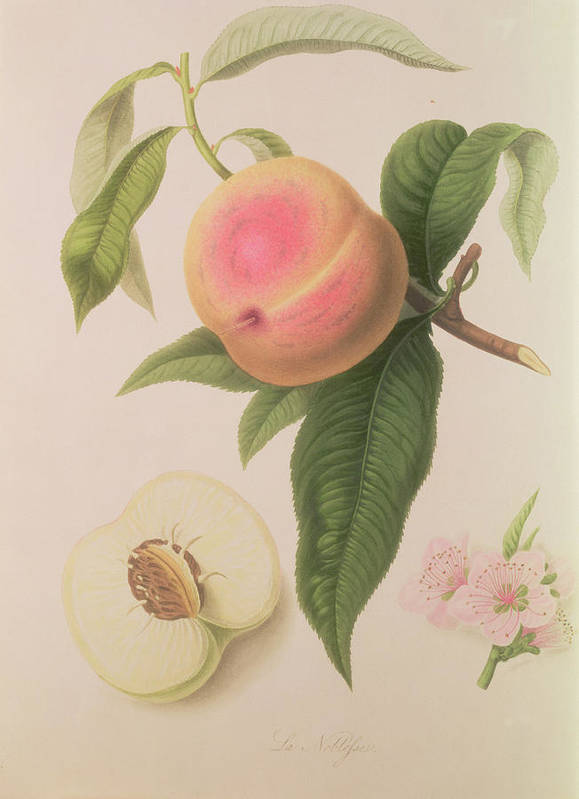 Fruit Art Print featuring the painting Noblesse Peach by William Hooker