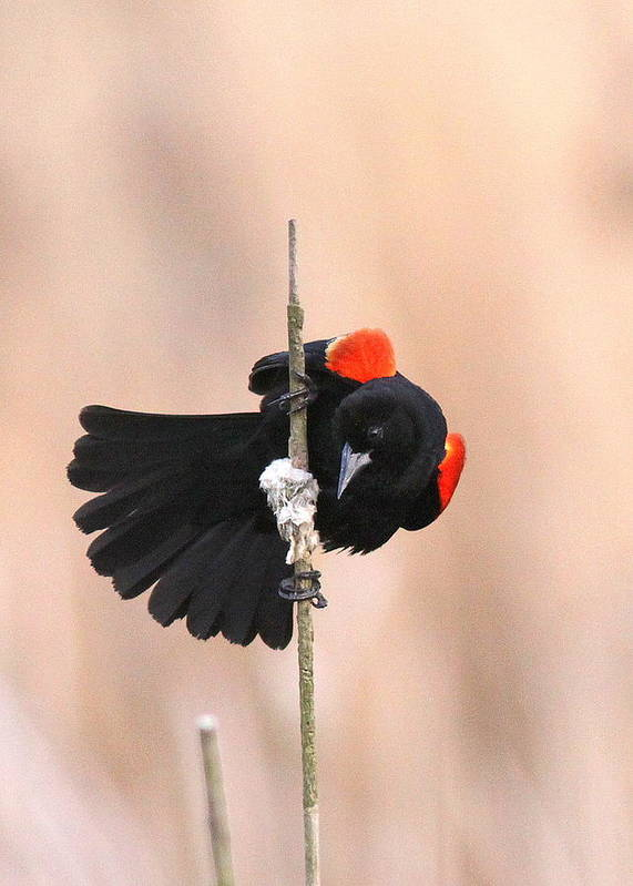 Red-winged Blackbird Art Print featuring the photograph Posing For The Lady - Red-winged Blackbird by Travis Truelove