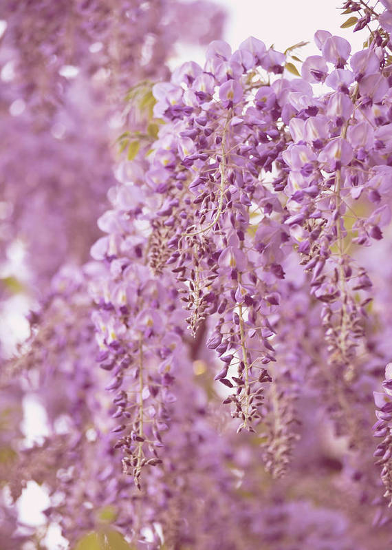 Wisteria Art Print featuring the photograph Purple Wisteria by Ginger Wagner