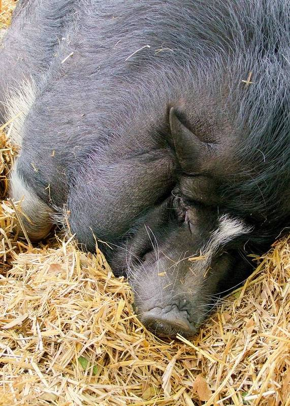 Pig Art Print featuring the photograph Sleeping Sow by Mary Deal