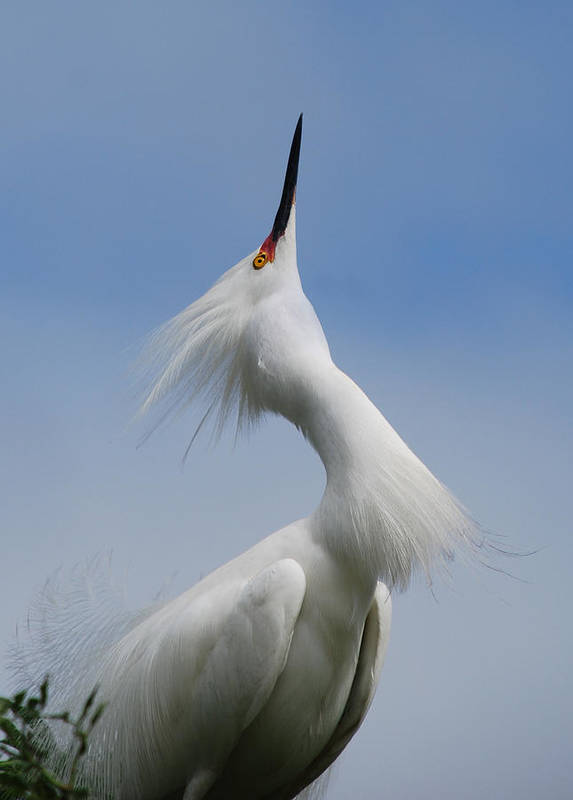 Egret Print featuring the photograph Strut Yer Stuff by Skip Willits