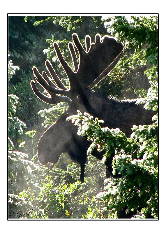 Moose Art Print featuring the photograph Sunny Moose by Darlene Grubbs