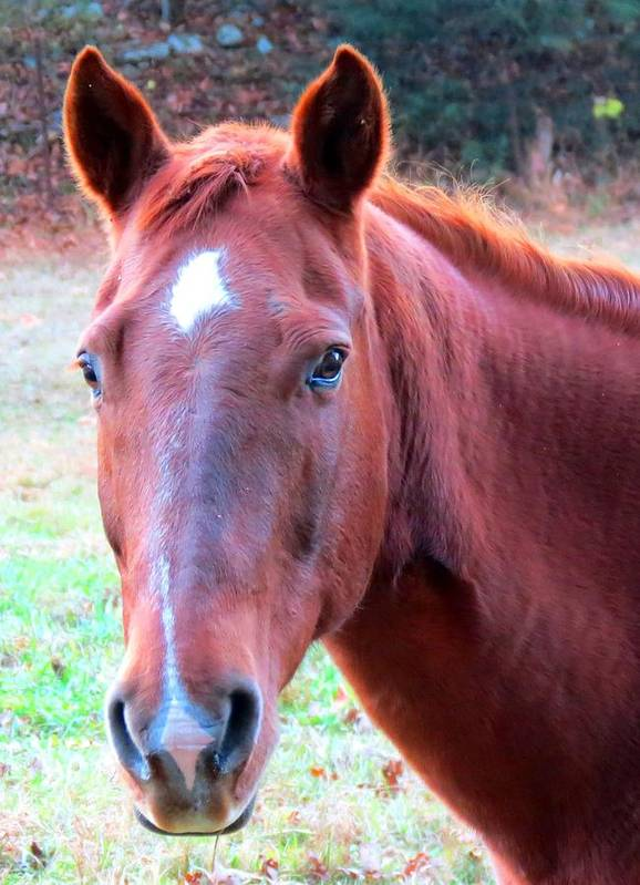 Horse Art Print featuring the photograph Sweet Heart by Robin Engala