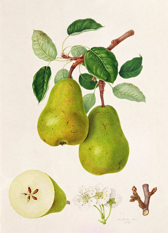 Pear Blossom; Pears; Leaves; Branch; Cross-section; Botanical Illustration Art Print featuring the painting The D'auch Pear by William Hooker