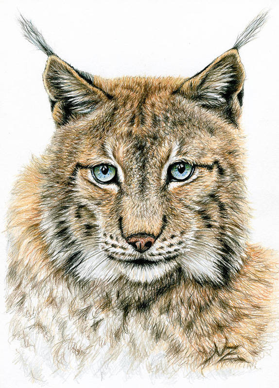 Lynx Art Print featuring the drawing The Lynx by Nicole Zeug