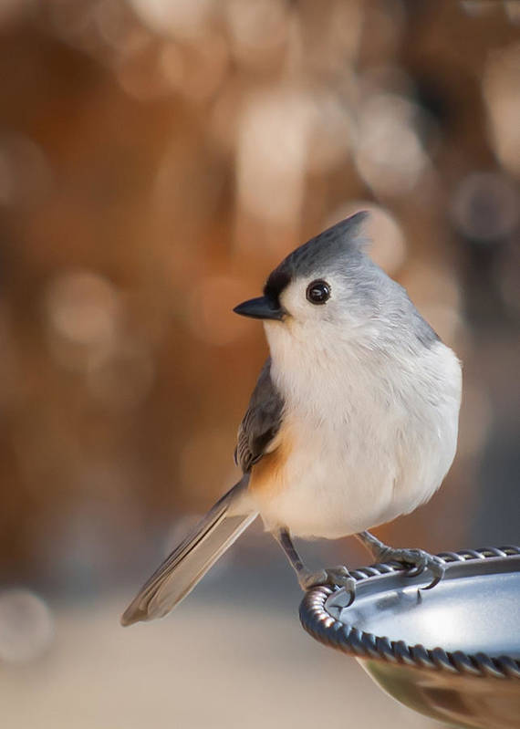 Titmouse Art Print featuring the photograph Titmouse by James Barber