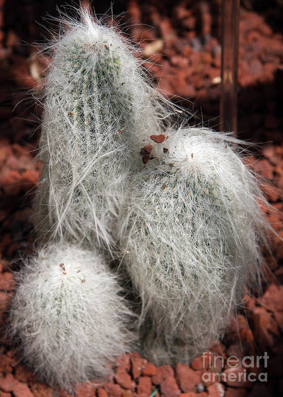 Cactus Art Print featuring the photograph White Bearded by Christiane Schulze Art And Photography