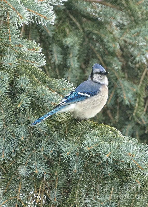 Bird Art Print featuring the photograph Majestic Blue Jay by Pamela Baker