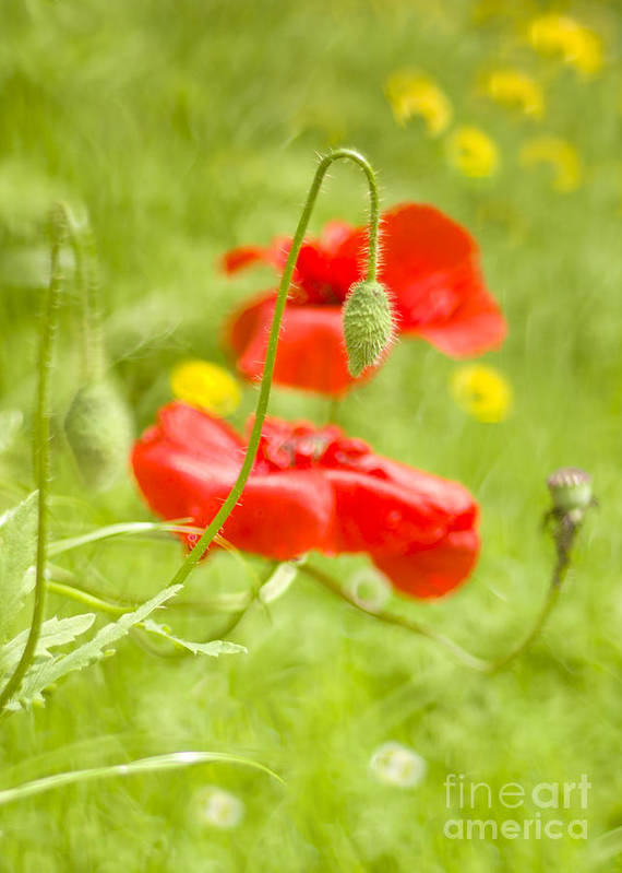 June Art Print featuring the photograph Poppies by Angel Ciesniarska