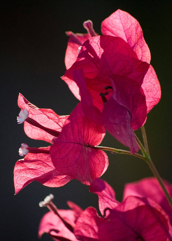 Bougainvillea Art Print featuring the photograph Backlit Pink by Rosie Herbert