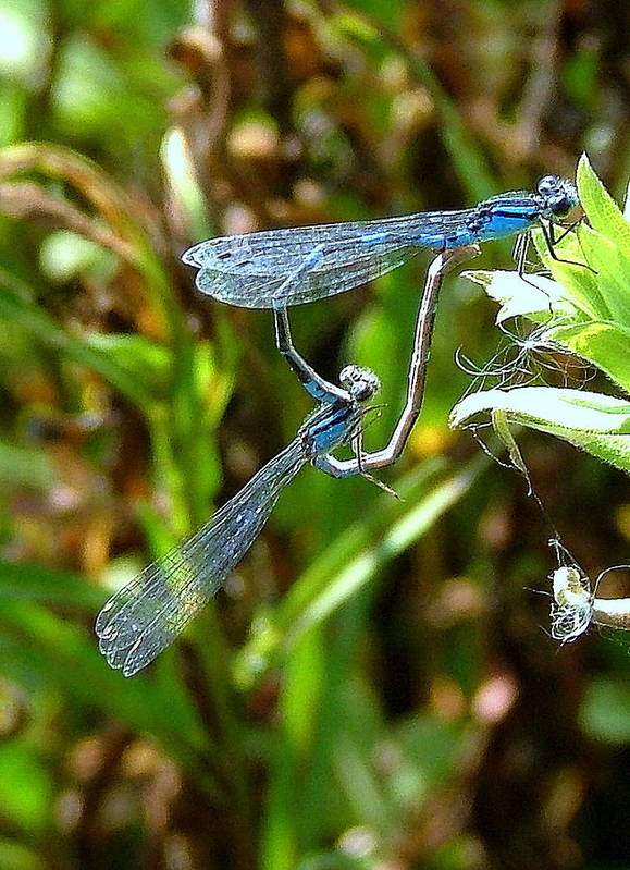 Blue Damsel Flys Art Print featuring the photograph Blue Damsels Mating by Don Downer