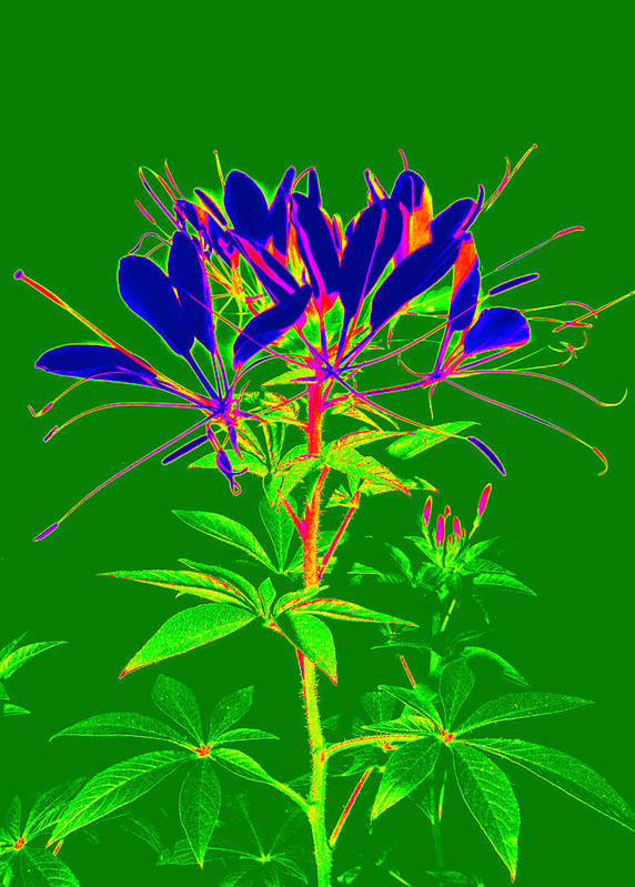 Computer Generated Flower Art Print featuring the photograph Cleome Gone Abstract by Kim Galluzzo Wozniak