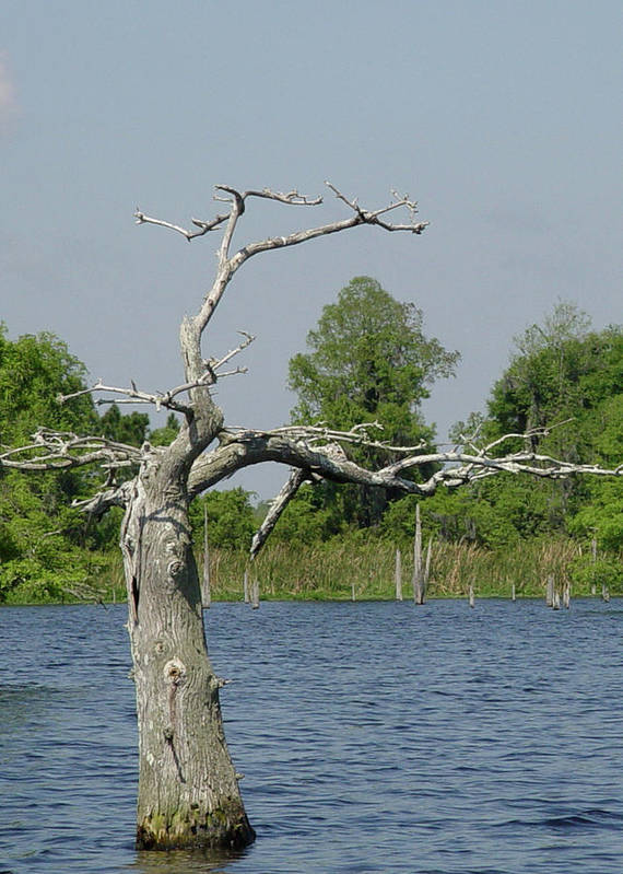 Plant Art Print featuring the photograph Cypress Alone by William McEachern