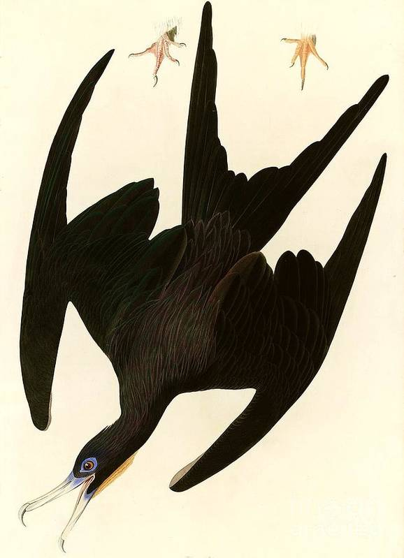 Pd Art Print featuring the painting Frigate Bird by Pg Reproductions