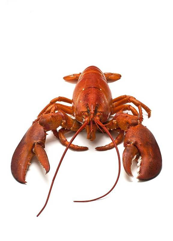 Lobster Art Print featuring the photograph Lobster by David Nunuk