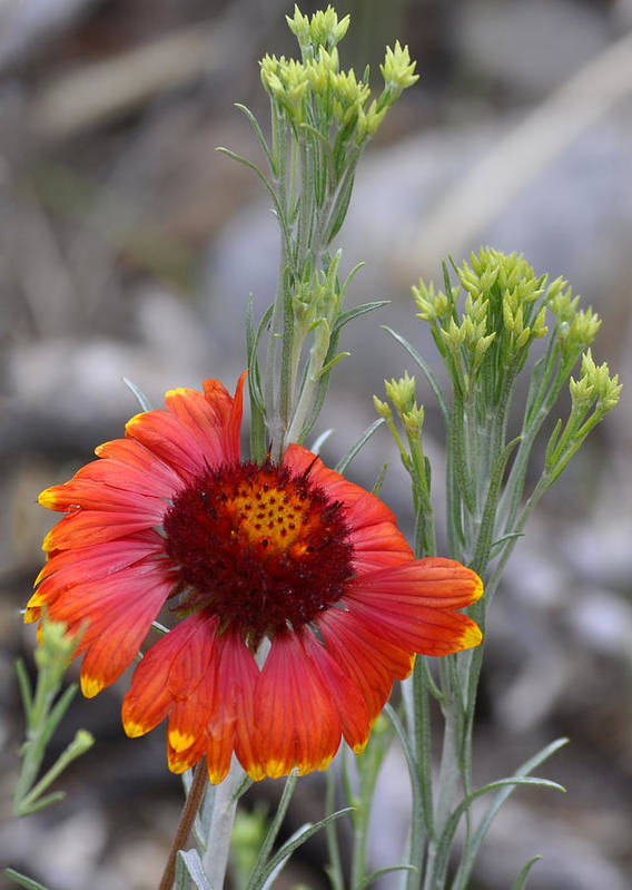 Mount Charleston Art Print featuring the photograph Mount Charleston Wildflowers by Sandra Welpman