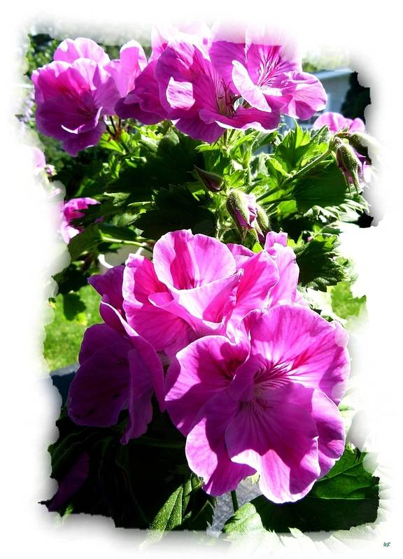 Scented Geraniums Art Print featuring the photograph Scented Geraniums by Will Borden
