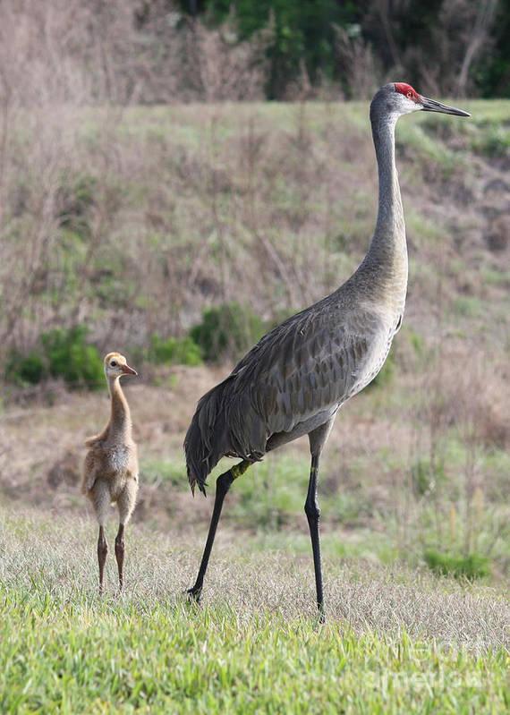 Bird Art Print featuring the photograph Standing Tall by Carol Groenen