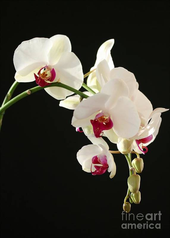Orchid Art Print featuring the photograph White Orchids by Sabrina L Ryan
