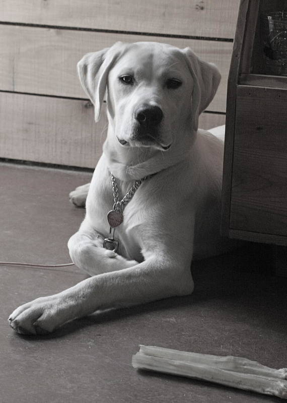 Lab Labrador Dog Puppy Retriever Art Print featuring the photograph Mosey by Crystal Rolfe