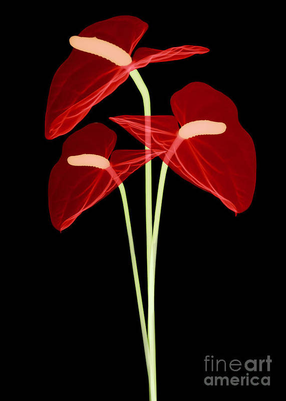 Science Art Print featuring the photograph Anthurium Flowers, X-ray by Ted Kinsman