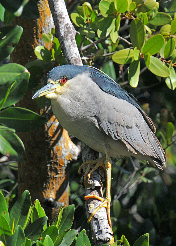 Heron Art Print featuring the photograph Black Crowned Night Heron by Alan Lenk