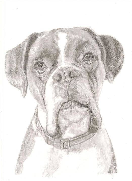 Boxer Art Print featuring the drawing Boxer by Rebecca Vose