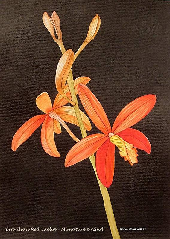Art Art Print featuring the painting Brazilian Red Laelia-miniature Orchid by Carol Sabo