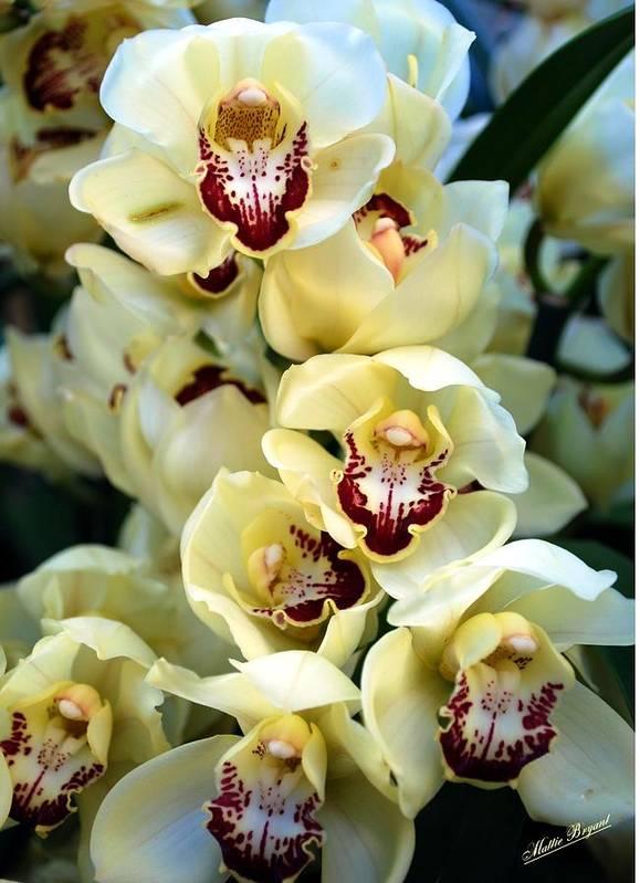 Orchids Art Print featuring the photograph Cybidium Orchids by Mattie Bryant
