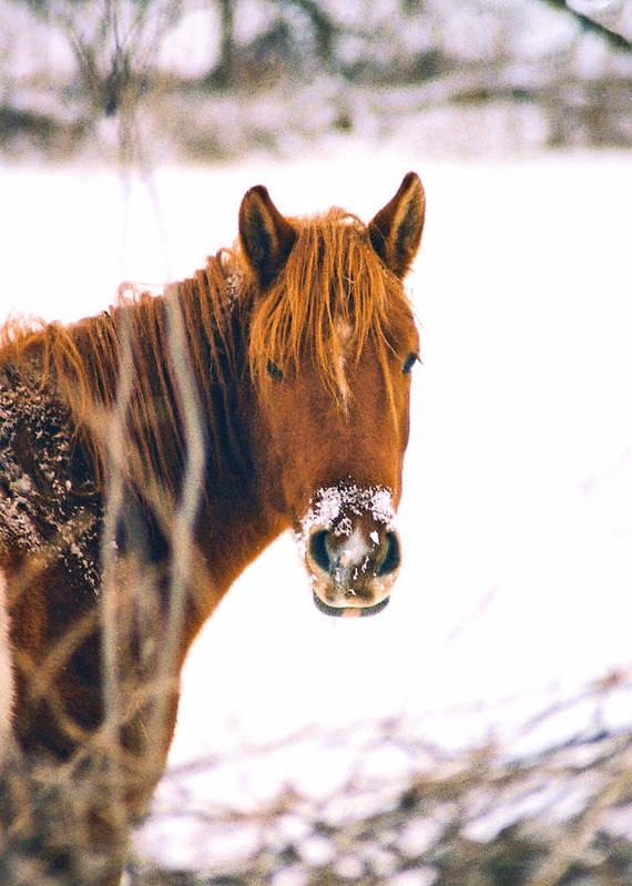 Horse Art Print featuring the photograph Horse In Winter by Steve Karol