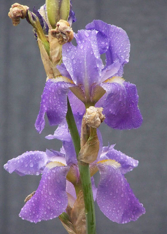 Lavendar Iris Art Print featuring the photograph Iris Blooms In The Rain by Laurie Kidd