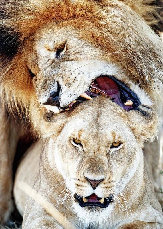 Lions Mating Giving Love Bite Art Print by Susan Schmitz