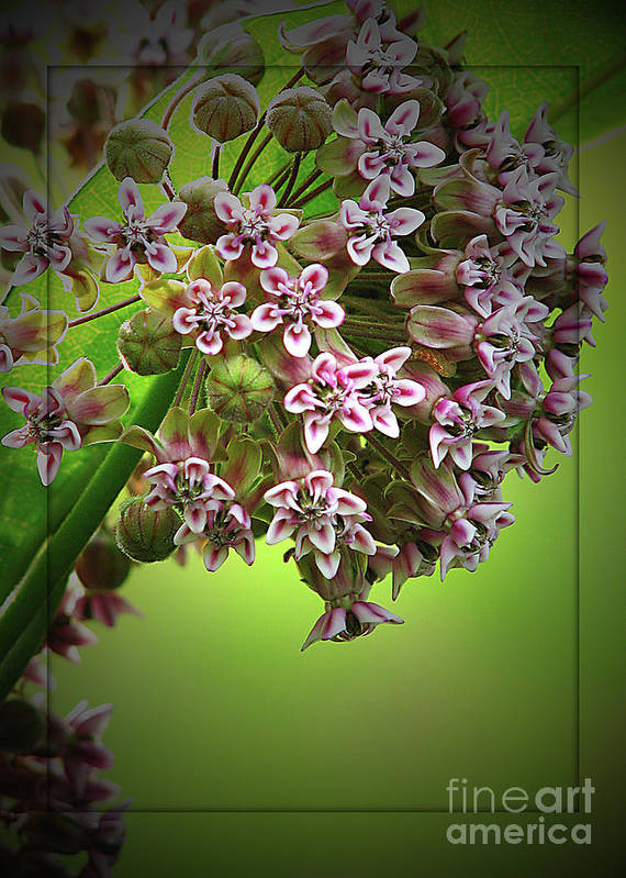 Flower Art Print featuring the photograph Milkweed In Bloom by Deborah Johnson