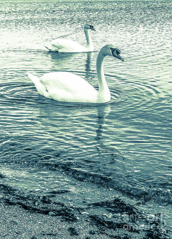 Mute Swan Art Print featuring the photograph Misty Blue Swans by Lisa Kilby