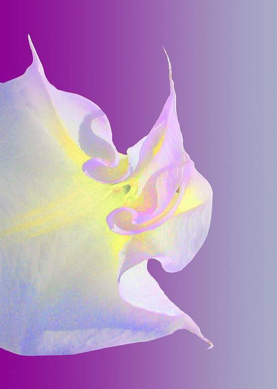 Jimsonweed Art Print featuring the photograph Moon Flower by Lynn Andrews