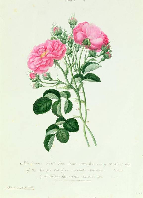 New Art Print featuring the drawing New Crimson Double Sweet Briar Of New York by Pierre Joseph Redoute